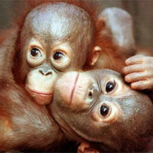ETHICS: PALM OIL OR ORANGUTANS?